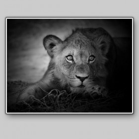 Portrait of a young lion, Serengeti National Park, Tanzania