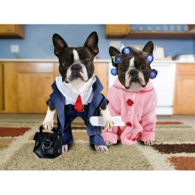 Deux Boston terriers habillés