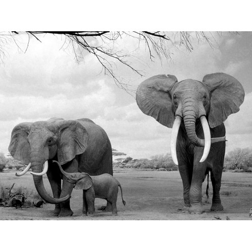 Elephants with their young, Moremi National Park, Botswana